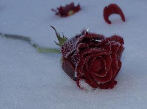 rose-339183_640