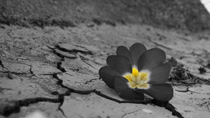 Daba Drought Flower Desert